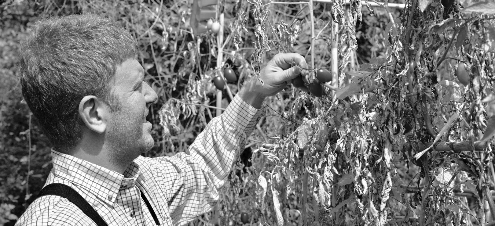 Harvesting tomatoes in the farm to make tomato sauce